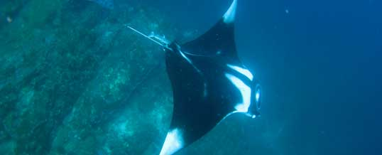 Manta ray over Koh Bon Ridge