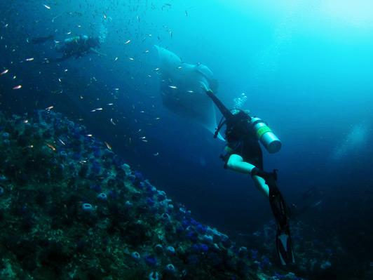 Diving with a Manta at Black Rock