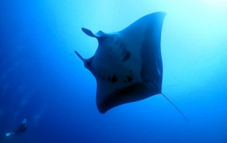 Giant manta encountered diving the Similan Islands in 2019